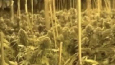 Photo of الكشف عن مزرعة كنابس تحت الأرض في مركز البلاد واعتقال 7 مشتبهين